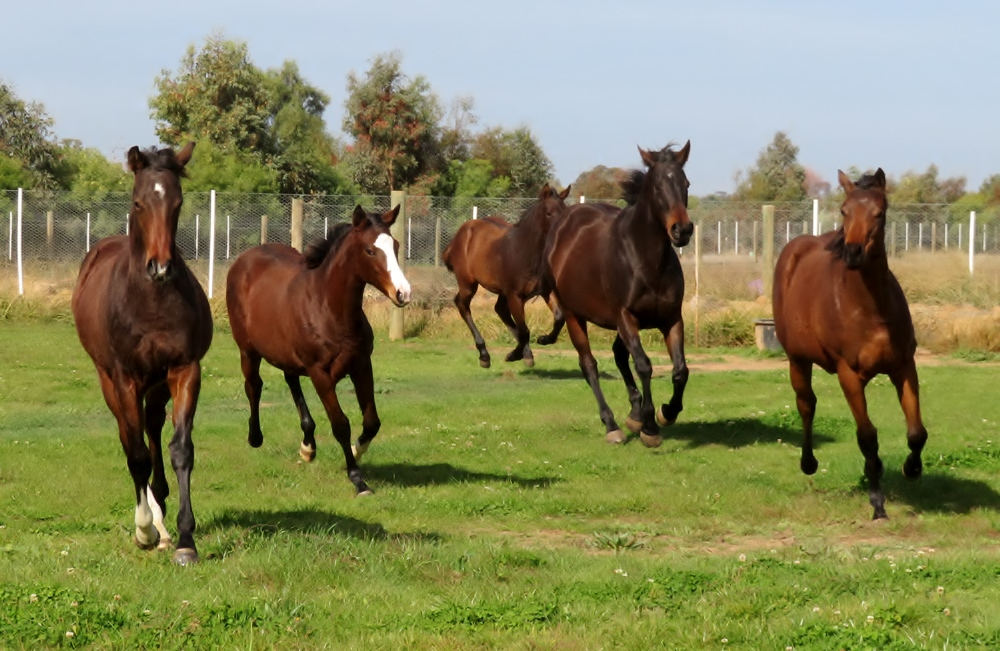 group photo of foals and mares galloping